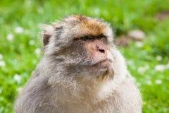 Barbary Macaque Monkey Stock Image