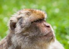 Barbary Macaque Monkey Stock Photo