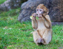 Barbary macaque monkey eating Stock Photography