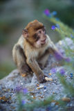 Barbary macaque monkey stock photography