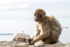 Barbary macaque monkey in Gibraltar royalty free stock images