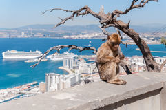 Barbary macaque monkey in Gibraltar Stock Images