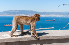 Barbary macaque monkey in Gibraltar Royalty Free Stock Photo