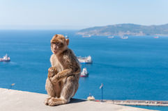 Barbary macaque monkey in Gibraltar Stock Photography