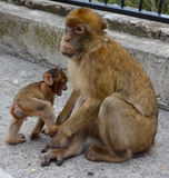 Barbary Macaque Monkey. Barbary Macaques monkey mother and baby just looking on rock of Gibraltar Royalty Free Stock Photography