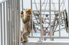 Barbary Macaque monkey playing at the Gibraltar Cable car Royalty Free Stock Images