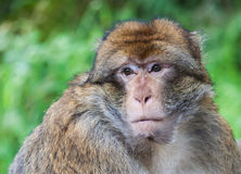 Barbary macaque monkey portrait Stock Image