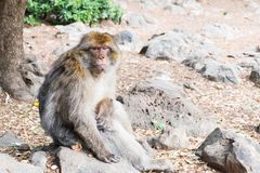 Barbary Macaque Monkey sitting on ground in the cedar forest, Azrou, Morocco. In Africa royalty free stock photography