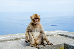 Barbary Macaque monkey with two cargo ships in the background. Portrait of a Barbary Macaque ape monkey Royalty Free Stock Image