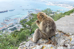 Barbary Macaque monkey watching the Gibraltar Skyline Royalty Free Stock Photography