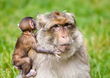Barbary Macaque Monkeys Stock Images