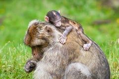 Barbary Macaque Monkeys Stock Photos