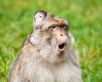 Barbary Macaque Monkeys Stock Image