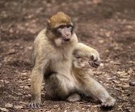 Barbary Macaque in Morocco. A Barbary macaque casts a wary eye at a park in Ifrane, near the larger city of Azrou, Morocco; October 9, 2018. The monkey is in the stock images