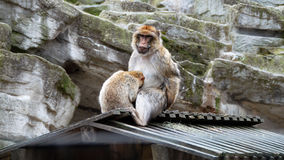Barbary macaque mother and young ape. Barbary macaque mother sitting on a roof and young ape hiding his head into her lap Royalty Free Stock Images