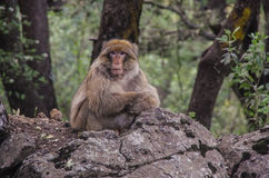 Barbary Macaque in the mountains of Morocco Royalty Free Stock Photos