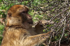 Barbary Macaque Royalty Free Stock Photos