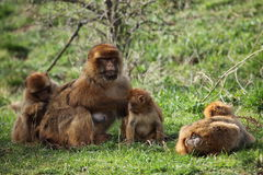 Barbary Macaque Royalty Free Stock Photo
