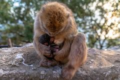 A Barbary macaque with new born baby. stock images