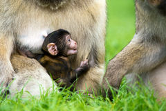Barbary Macaque Royalty Free Stock Image