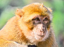 Barbary macaque at the Ouzoud falls in Morocc Royalty Free Stock Photo