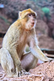 Barbary macaque at the Ouzoud falls in Morocc Royalty Free Stock Photography