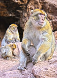 Barbary macaque at the Ouzoud falls in Morocc Royalty Free Stock Photos