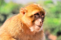 Barbary macaque at the Ouzoud falls in Morocc Stock Photography