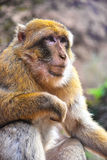 Barbary macaque at the Ouzoud falls in Morocc Stock Images