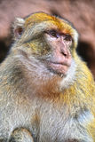 Barbary macaque at the Ouzoud falls in Morocc Royalty Free Stock Image
