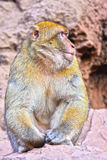 Barbary macaque at the Ouzoud falls in Morocc Royalty Free Stock Images