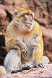 Barbary macaque at the Ouzoud falls in Morocc Stock Image