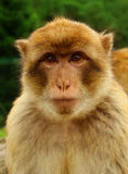 Barbary macaque portrait on green background. Looking Stock Image