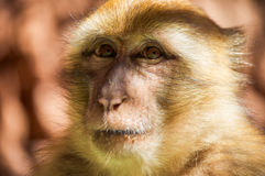 Barbary Macaque. Posing for photo Stock Photography