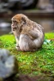 A Barbary Macaque in the rain stock images