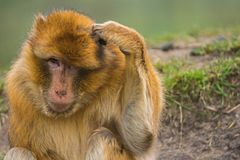 Barbary macaque scratching its head. stock photography