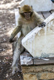 A Barbary macaque sits on a seat in the cedar forest of Azrou in Morocco. Despite their name these primates are monkeys not apes Royalty Free Stock Photo