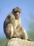 Barbary macaque sitting Stock Photography