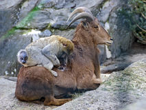 Barbary macaque sitting on a Barbary sheep Royalty Free Stock Photo