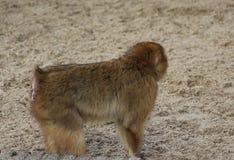 Barbary macaque Royalty Free Stock Photos