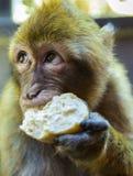 Barbary macaque som äter bröd Royaltyfri Foto