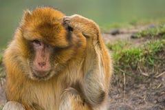 Barbary macaque som skrapar dess huvud Arkivbild