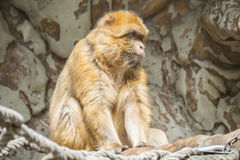 Barbary macaque staying calm and looking closely at something.  Royalty Free Stock Photography