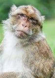 Barbary Macaque  (Sylvanus) Royalty Free Stock Photos
