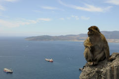 Barbary Macaque thinking. A Gibraltar Barbary Macaques monkey wondering Stock Photo