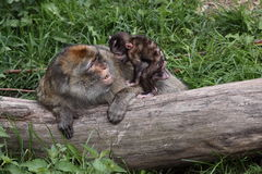 Barbary macaque upbringing. The juvenile barbary macaque is kidding its mother Stock Image