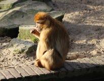 Barbary macaque Stock Photo