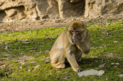 Barbary macaque Stock Photography