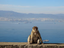 Barbary macaque, wild monkey in Gibraltar Royalty Free Stock Photography