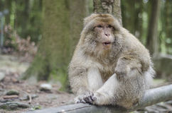 Barbary macaque in wildleif Royalty Free Stock Images